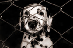 Dalmatian Puppy. Looking through the fence stock photo