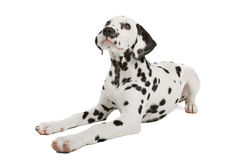 Dalmatian puppy. In front of a white background Stock Image