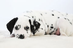 Dalmatian puppy. Cute Dalmatian Puppy on white background royalty free stock images
