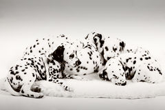Dalmatian puppy. Cute Dalmatian Puppy on white background royalty free stock photo