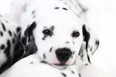 Dalmatian puppy. Cute Dalmatian Puppy on white background royalty free stock photography
