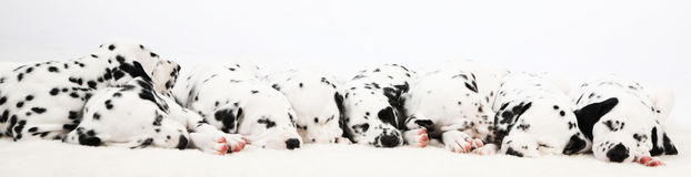 Dalmatian puppy. Cute Dalmatian Puppy on white background stock image