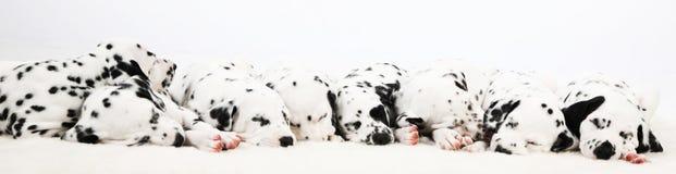 Dalmatian puppy Stock Image