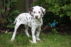 Dalmatian puppy. Cute little Dalmatian puppy dog stock photos