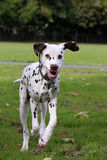 Dalmatian puppy. Cute little Dalmatian puppy dog running in the local park Royalty Free Stock Photography