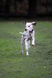 Dalmatian puppy. Running Dalmatian puppy holding some rubbish in its mouth stock image