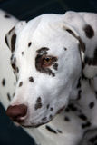 Dalmatian puppy. Portrait of a cute dalmatian puppy in profile and close-up Stock Image