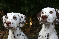 Dalmatian puppy. Portrait of two cute dalmatian pups in close up royalty free stock photo