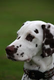 Dalmatian puppy. Portrait of a cute dalmatian puppy in profile and close-up royalty free stock photo
