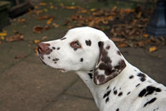 Dalmatian puppy. Portrait of a cute dalmatian puppy in profile and close up stock photo