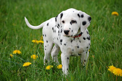 Dalmatian Puppy. Young and nice dalmatian puppy dog stock photography