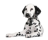 Dalmatian puppy. In front of a white background Stock Photography