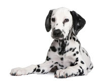 Dalmatian puppy. In front of a white background stock photo