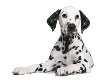 Dalmatian puppy. In front of a white background stock photos