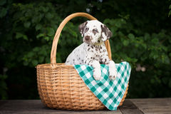 Dalmatian puppy in a basket Stock Image