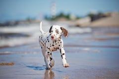 Dalmatian puppy on the beach Royalty Free Stock Photos