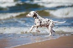 Dalmatian puppy on the beach Stock Photos