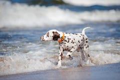 Dalmatian puppy on the beach. Brown dalmatian puppy on the beach Stock Photos