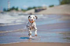 Dalmatian puppy on the beach Stock Image