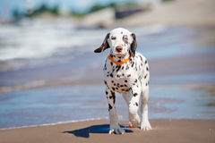 Dalmatian puppy on the beach. Brown dalmatian puppy on the beach stock photos