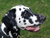 Dalmatian Puppy. Black and white Dalmatian Dog in field Stock Photo
