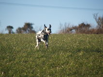 Dalmatian Puppy. Black and white Dalmatian Dog running in field Stock Photo