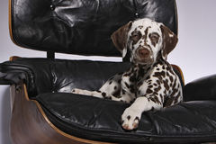 Dalmatian Puppy on chair. Cute liver spotted female dalmatian puppy dog on a leather armchair royalty free stock photo