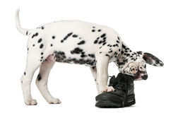Free Dalmatian Puppy Chewing A Shoe Royalty Free Stock Photography - 63255377