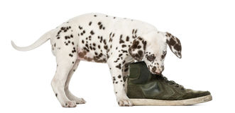Dalmatian puppy chewing a shoe Stock Photo