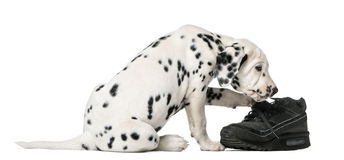 Dalmatian puppy chewing a shoe. In front of a white background Stock Images