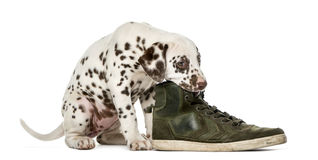 Dalmatian puppy chewing a shoe. In front of a white background royalty free stock image