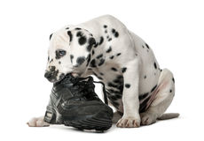 Dalmatian puppy chewing a shoe. In front of a white background royalty free stock photography