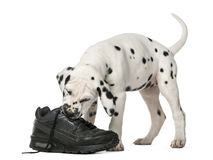 Dalmatian puppy chewing a shoe Royalty Free Stock Photography
