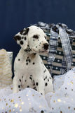 Dalmatian puppy and christmas gifts. Picture of a female Dalmatian puppy sitting in between Christmas gifts Stock Photo