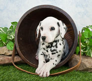 Dalmatian Puppy. A cute Dalmatian puppy laying in a bucket in the lawn looking to the right royalty free stock images