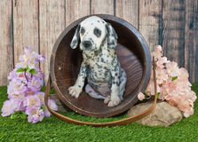 Dalmatian Puppy. Cute little Dalmatian puppy peeking out of a bucket outdoors with flowers around her stock images