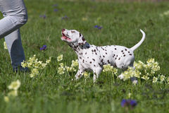 Dalmatian puppy dog Stock Image