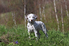 Dalmatian puppy dog Royalty Free Stock Photos