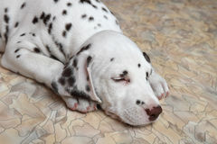 Dalmatian puppy dog Stock Photo