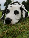 Dalmatian puppy in the garden Royalty Free Stock Image