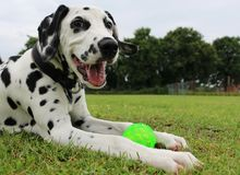 Dalmatian puppy in the garden. Beautiful dalmatian puppy have fun in the garden with a ball royalty free stock photo