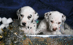 Dalmatian Puppy Gift 2 Stock Photos