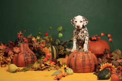 Dalmatian puppy in halloween decoration. Liver spotted male dalmatian puppy male standing on a halloween pumpkin in halloween decoration royalty free stock images