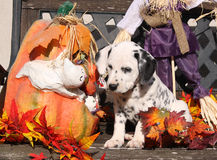 Dalmatian puppy in Halloween decoration Stock Image