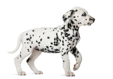 Dalmatian puppy with heterochromia walking Royalty Free Stock Images