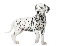Dalmatian puppy with heterochromia walking Stock Images