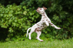 Dalmatian puppy jumps in the air. Brown dalmatian puppy outdoors in summer royalty free stock images