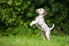 Dalmatian puppy jumps up on grass Royalty Free Stock Image