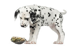 Dalmatian puppy, looking down at a turtle. On its back, isolated on white Royalty Free Stock Photo