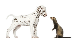 Dalmatian puppy looking at a  Ferret standing on hind legs Stock Photography